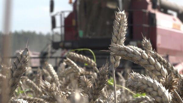 Видеофакт: как в Брестской области проходит уборка зерновых - Sputnik Беларусь