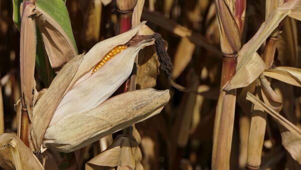 Кукурузное поле, архивное фото - Sputnik Беларусь