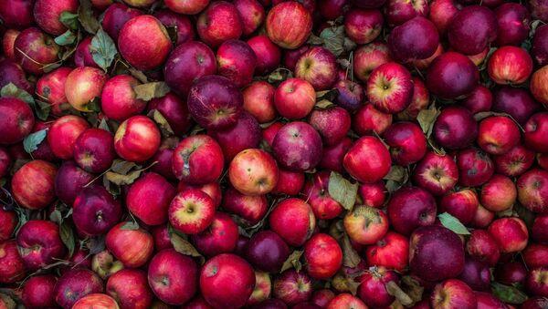 Яблычны сыр і квашанне пад смажаніну: як нарыхтоўвалі яблыкі стагоддзі таму - Sputnik Беларусь