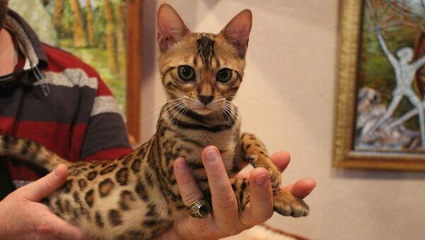 Бенгальская котка Ханна, якую прывезлі з Літвы - Sputnik Беларусь