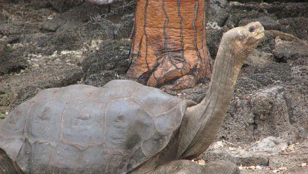 Чарапаха Вострава Пінта (Pinta Island Tortoise) - Sputnik Беларусь