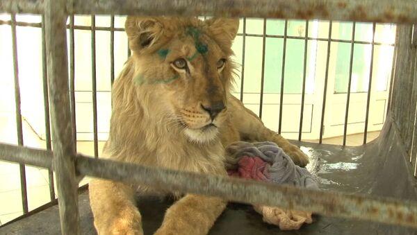 Спасение голодного льва - Sputnik Беларусь