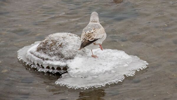Чайка на Свіслачы - Sputnik Беларусь