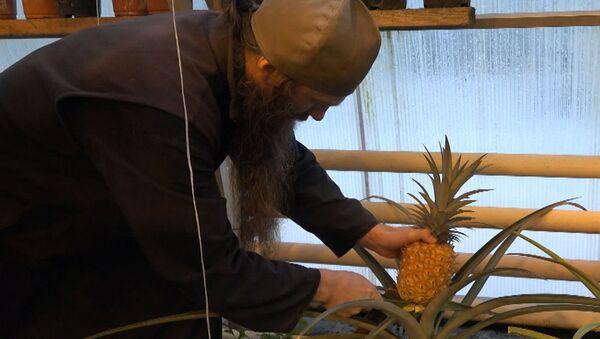 Відэафакт: манахі Валаамского манастыра вырасцілі ананасы - Sputnik Беларусь