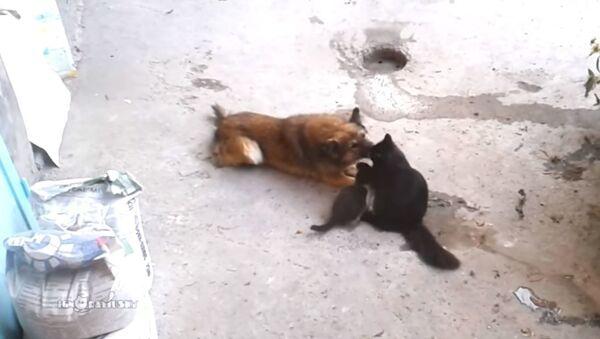 Кранальнае відэа: што такое сапраўдная дружба, нават калі вы кошка і сабака - Sputnik Беларусь