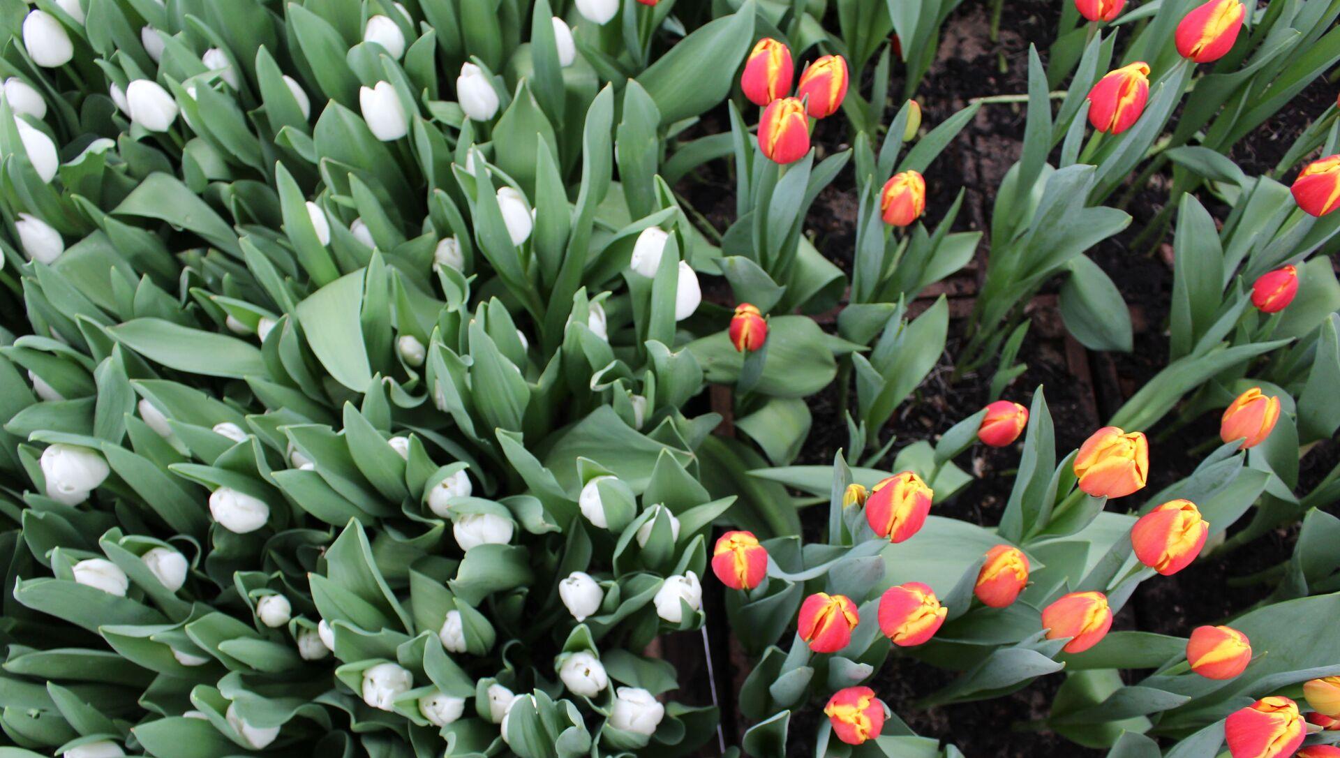 В последние годы многим женщинам понравилось сочетание белых тюльпанов с фиолетовыми, красными или розовыми. Полюбились и цветы с двухцветными бутонами.  - Sputnik Беларусь, 1920, 03.03.2021
