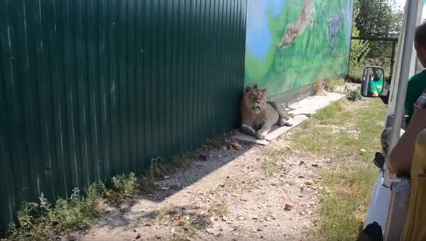 В сафари-парке лев полез обниматься к туристам - Sputnik Беларусь