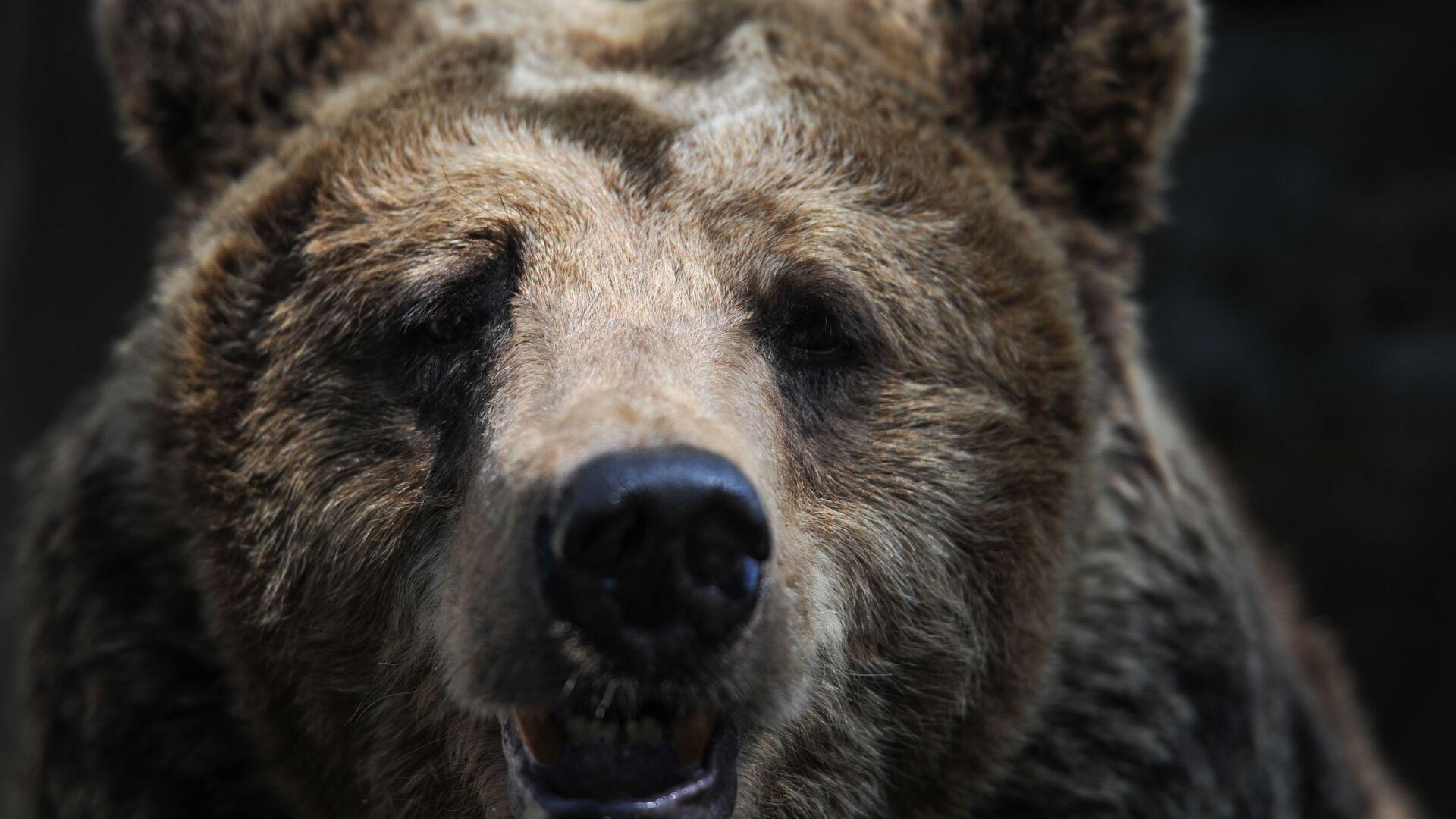 Бурый медведь - Sputnik Беларусь, 1920, 26.02.2021