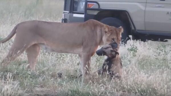 Собака спаслась из пасти льва, притворившись мертвой, видео - Sputnik Беларусь