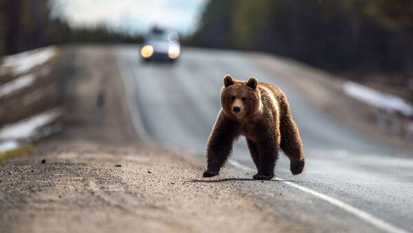 Бурый медведь после зимней спячки - Sputnik Беларусь
