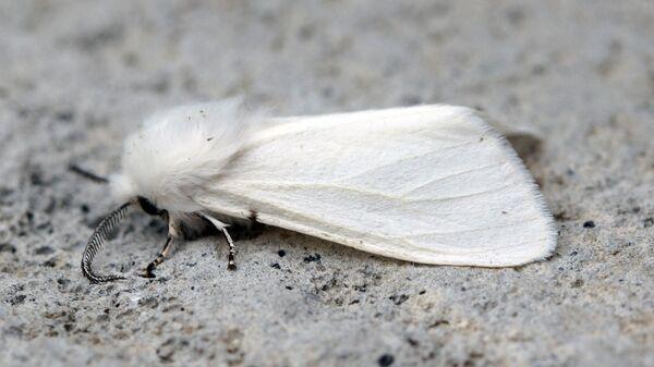 Американская белая бабочка - Sputnik Беларусь