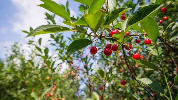 Черешневый сад Института плодоводства - Sputnik Беларусь