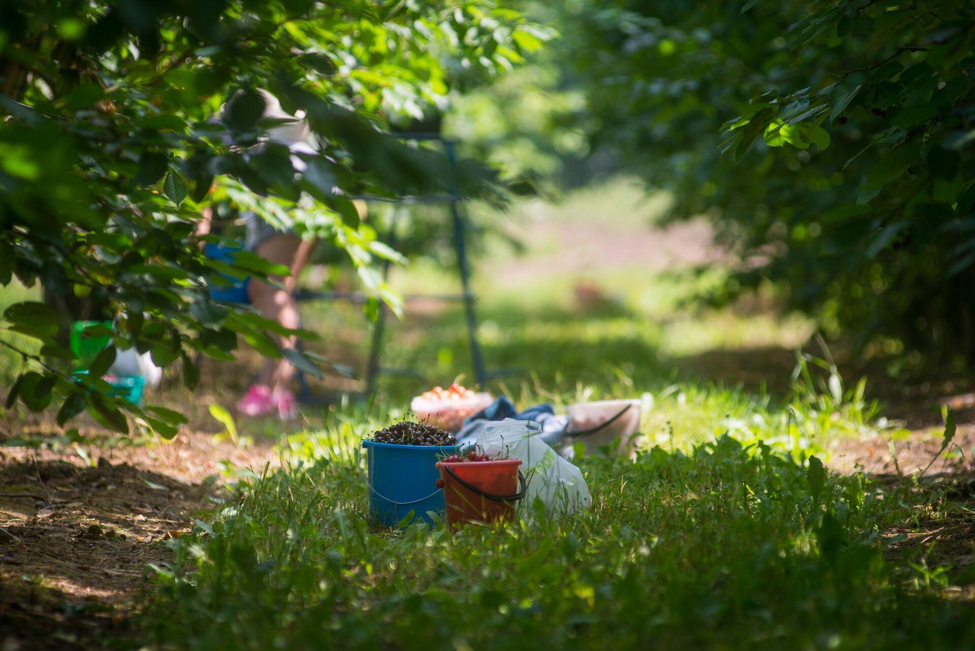 Минчане с удовольствием приезжают на самосбор черешни и вишни в сады Института плодоводства - Sputnik Беларусь, 1920, 29.06.2021