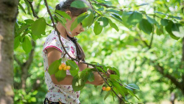 Желтый сорт черешни Наслаждение особенно любят дети - Sputnik Беларусь