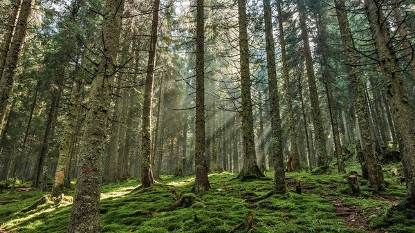 Сосновый лес - Sputnik Беларусь