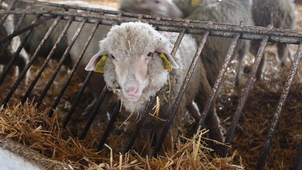 Овцы на ферме Конюхи в Ляховичском районе - Sputnik Беларусь