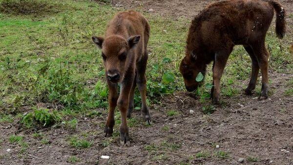 Сразу два зубренка родились в Минском зоопарке - Sputnik Беларусь
