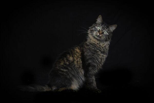 Камена, 6-летняя европейская кошка, позирует фотографу в приюте для животных - Sputnik Беларусь