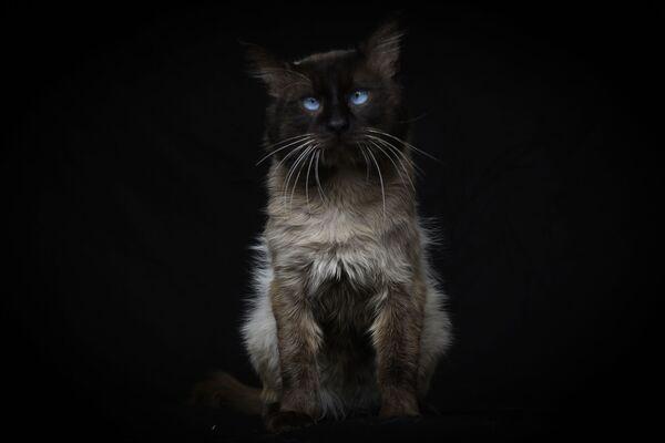 Рио, трехлетний сиамский кот - Sputnik Беларусь