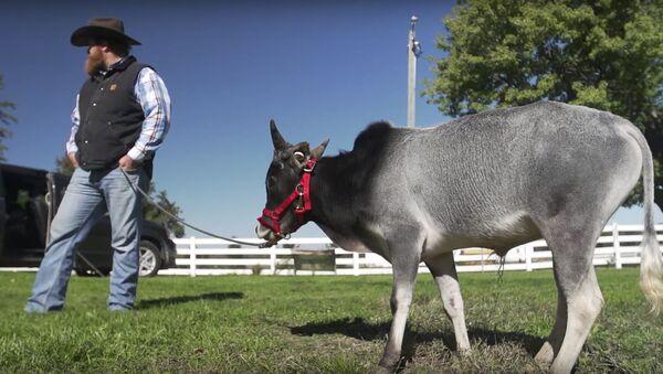 Не больше собаки: в США живет самый маленький в мире бык  - Sputnik Беларусь