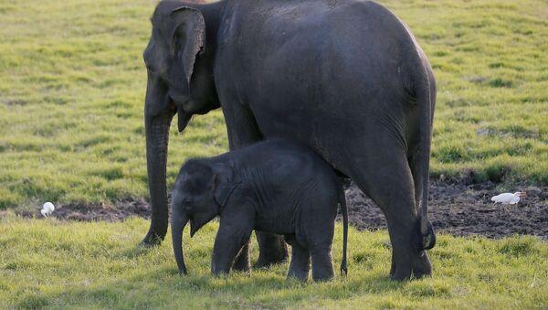 Слоненок и взрослый слон - Sputnik Беларусь
