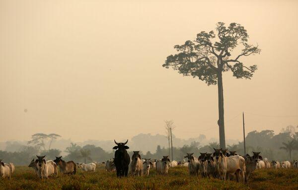 Крупный рогатый скот вышел из джунглей Амазонки после пожара в Бока-ду-Акре - Sputnik Беларусь