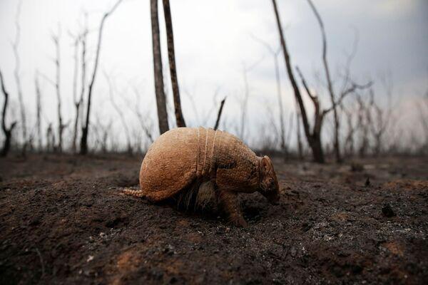 Броненосец, который был ослеплен пожаром, на выжженной земле заповедника Гуарани - Sputnik Беларусь