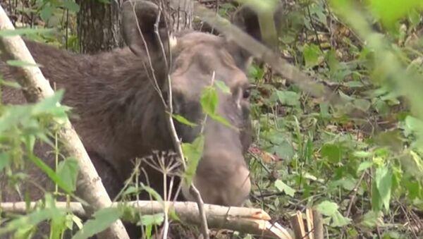 Инспекторы природоохраны спасли лося из петли браконьера - Sputnik Беларусь