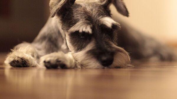 Собака породы цвергшауцер, архивное фото - Sputnik Беларусь
