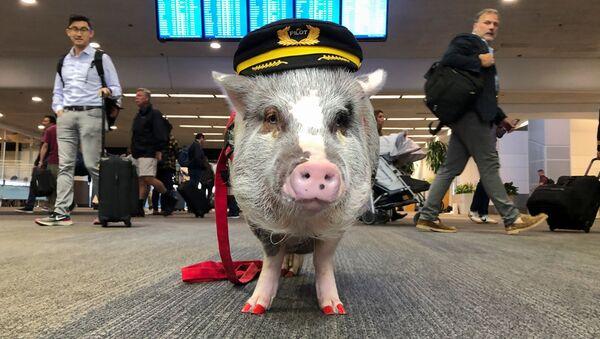 Свинья в форме пилота в аэропорту Сан-Франциско  - Sputnik Беларусь
