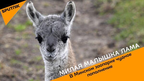 Першыя дні маленькай ламы ў Мінскім заапарку – відэа - Sputnik Беларусь
