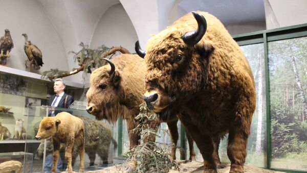 Зубр - экспонат закрывающегося музея Старого замка в Гродно - Sputnik Беларусь