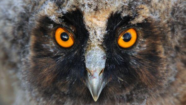 Ушастая сова в Беларуси - Sputnik Беларусь