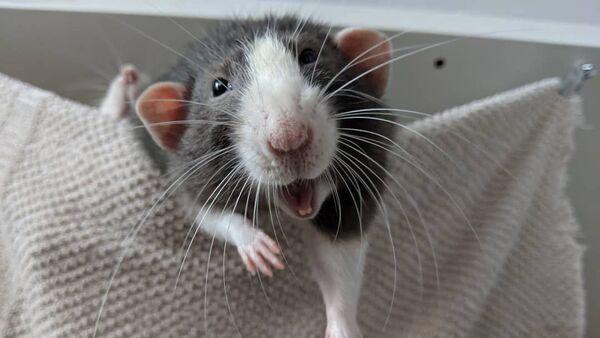 Крысы в Инстаграме - Sputnik Беларусь