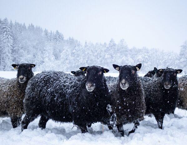 Овцы радуются зимней прогулке. - Sputnik Беларусь
