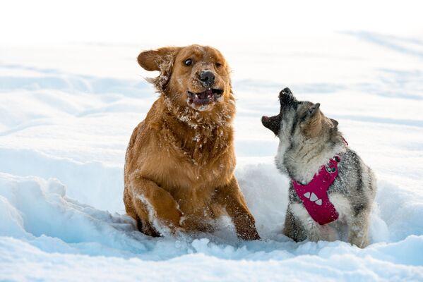 Собаки играют в снегу. - Sputnik Беларусь