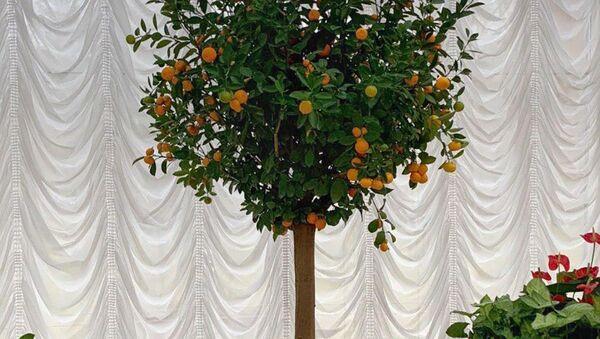 У Лукашенко во Дворце независимости выросли мандарины - Sputnik Беларусь