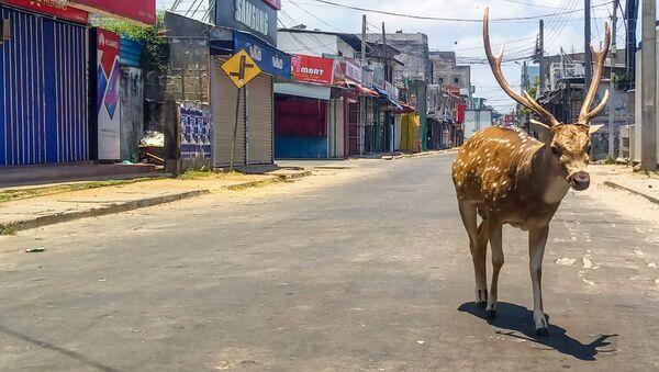 Дикий олень бродит по пустынной улице в портовом городе Тринкомали в Шри-Ланке - Sputnik Беларусь