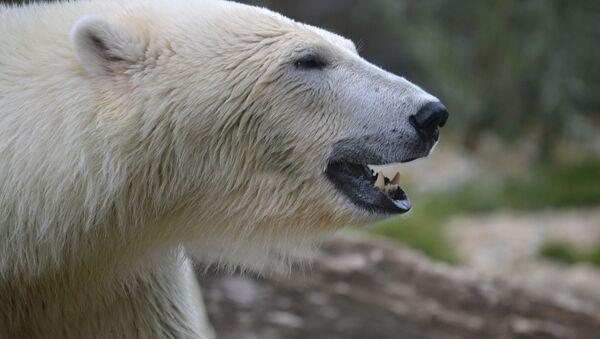 Белый медведь, архивное фото - Sputnik Беларусь