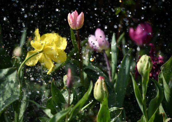 У перыяд цвіцення цюльпаны патрабуюць дастатковай вільготнасці глебы, але без пераўвільгатнення. - Sputnik Беларусь