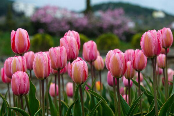 Цюльпаны - адны з самых любімых вясновых кветак на свеце. - Sputnik Беларусь