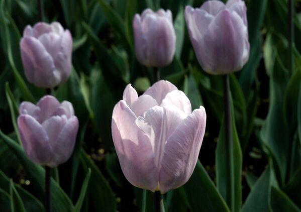 Кветкі цюльпанаў вельмі любілі турэцкія султаны, жадаючы мець у сваіх садках дываны з жывых кветак. - Sputnik Беларусь