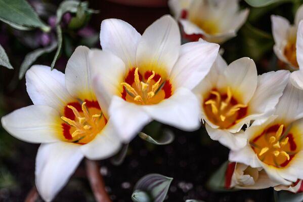 Цюльпаны Фостэра адрозніваюцца больш буйнымі бутонамі ў форме чашы. - Sputnik Беларусь