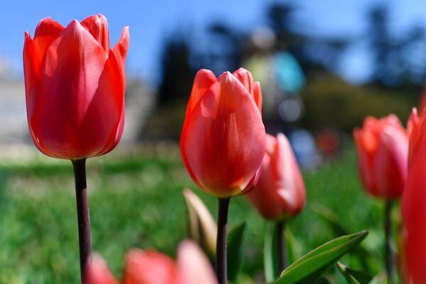 У нашых садках па-ранейшаму правіць баль цюльпан звычайны - сімвал траўня і вясны. - Sputnik Беларусь