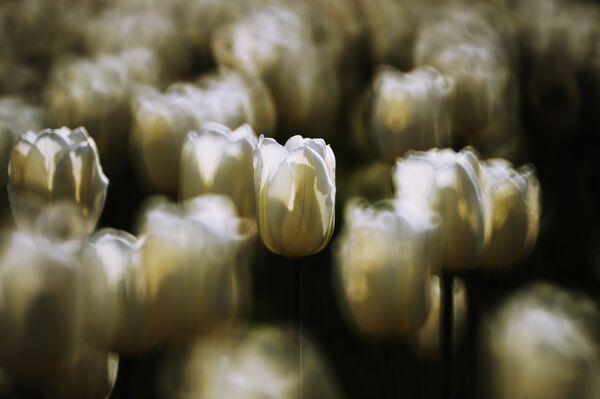 У 1753 годзе Ліней апублікаваў у Species plantarum першае навуковае апісанне трох відаў роду Tulipa. - Sputnik Беларусь