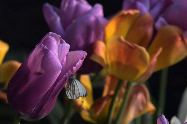 Вырошчваць цюльпаны нескладана, але яны патрабуюць пэўных высілкаў і ведаў. - Sputnik Беларусь