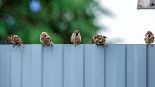 Воробьи на заборе под дождем, архивное фото - Sputnik Беларусь