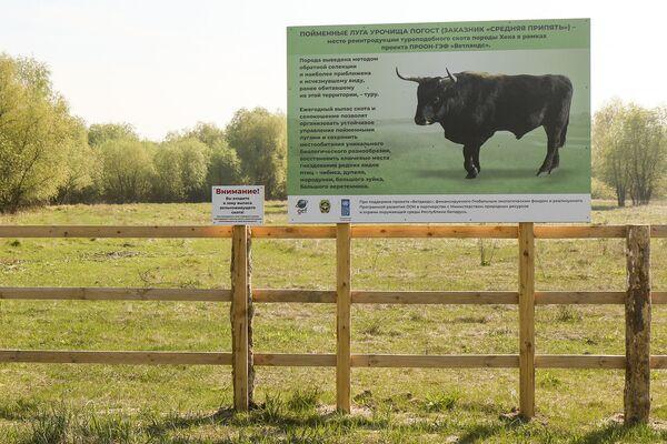 Кстати, это урочище нынешней весной заселили быками Хека (быки, похожие на тура).  - Sputnik Беларусь