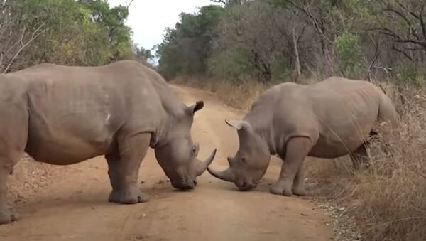 Носорог учит маленького носорога бороться, видео - Sputnik Беларусь