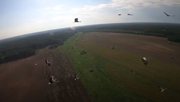 Гэта анёлы ляцяць! Беларус зняў на відэа палёт буслоў з дрона - Sputnik Беларусь